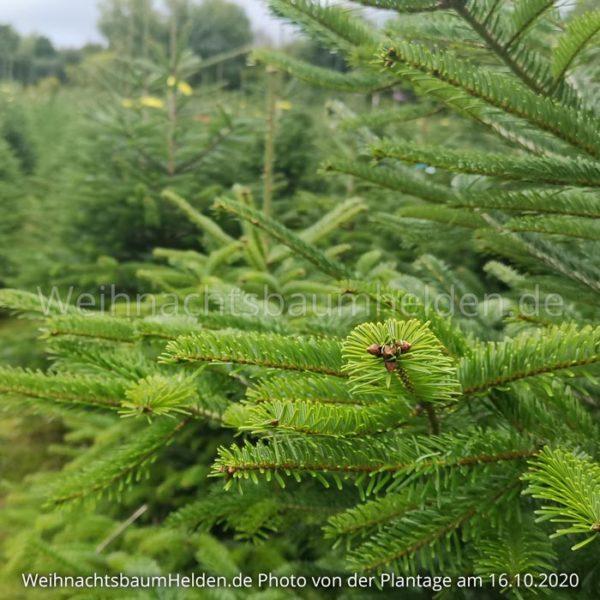 Weihnachtsbaum-Helden-Nordmanntanne-Plantage-Photo5-4